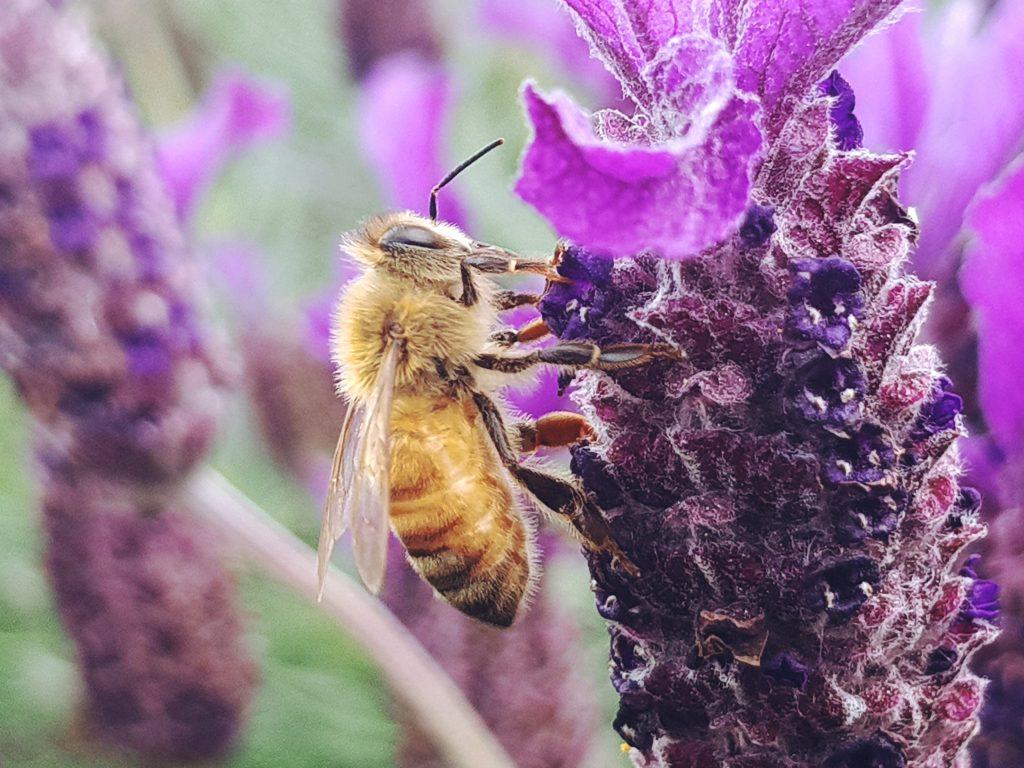 Pszczoła zapylająca kwiat lawendy